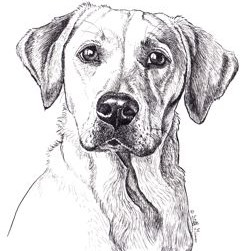 charlotte, a yellow labrador retreiver-in pen and ink