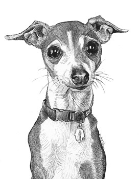ItalianGreyhound-Ink