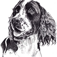 Magnolia-English Springer Spaniel